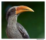 Malabar Grey Hornbill(male)-8355,Western Ghat endemic