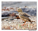 Blyths Pipit calling-8469