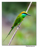 Green Bee eater-8449