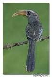 Malabar Gray Hornbill-8344,Western Ghat endemic