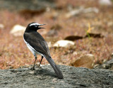 White-browed Wagtaill-8478