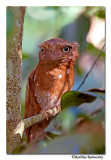 Srilankan Frogmouth-D2c0060,Western Ghat endemic