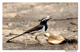 White brow wagtail-8534