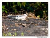 Sunbathing Dove-8528