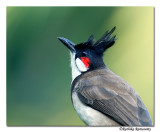 Red-whiskered Bulbul (Pycnonotus jocosus)-8553