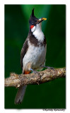 Red-whiskered Bulbul (Pycnonotus jocosus)-8339