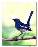 Magpie Robin-8556