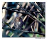 Jungle Owlet-8403