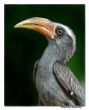 Malabar Grey Hornbill-8347,Western Ghat endemic