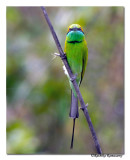 Green bee eater-8454