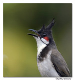 Red whisked Bulbul-8557