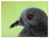 Pigeon -2140