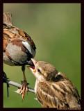 Feeding time(House Sparrow)-2156