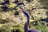 Blue Heron Yawn