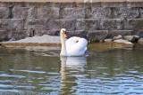 Swans in NY