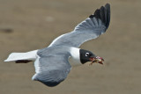 Laughing Gull with Shrimp