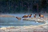 Bull Elk and Harem at Dawn