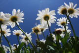 a_bucket_of_daisies