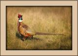 Pheasant #2