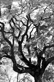 Plaza Tree  SAT  4BYBW.jpg