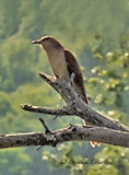 Black Billed Cuckoo in Vermont