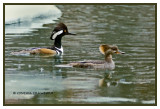 Hooded Mergansers in Vermont