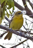 Orchard Orioles in Vermont
