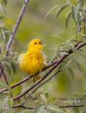 Spring Warblers in Vermont