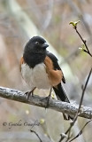 Eastern Towhee in Vermont