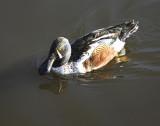 Onarmental Duck