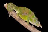 Fischer's Chameleon - Bradypodion fischeri