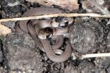 Brownsnakes