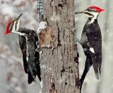 Female Piliated Woodpecker in Snow