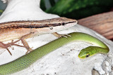 Long Tailed Lizard / Rough Greensnake