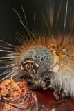 Forest tent caterpillar (Malacosoma disstria)