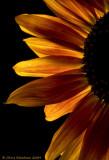 Sunflowers_Macro_2008sep19_110DSC00587_Tag.jpg