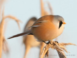 Bearded Parrotbill