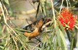 Skärnäbbad honungsätare, male
