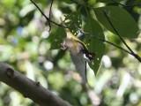 Melithreptus