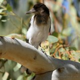 Pied Butcherbird, juvenil