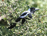 Flöjtfågel