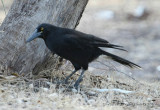 Grey Currawong melanoptera