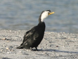 White-throated Cormorant