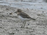 Double-banded Plover , juvenil