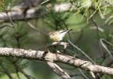Corsican Finch