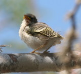 Galápagos Flycatcher