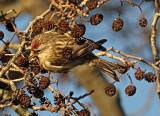 Siskins, Crossbills and Allies