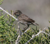 Medium Ground-Finch, female