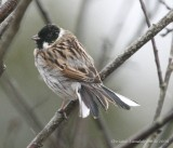 Common Reed-Bunting