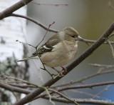 European Chaffinch, female